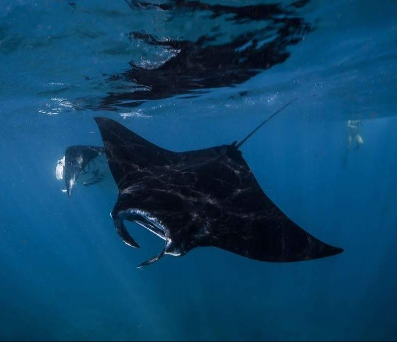 Manta Rays can be seen all year round in Indonesia and especially in Nusa Penida. It´s truly stunning to watch these impressive animals swimming around.