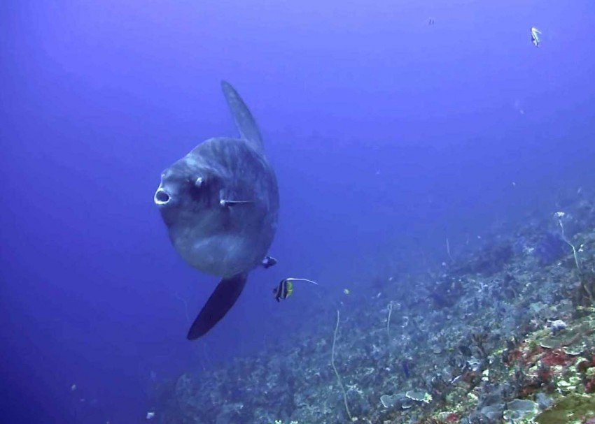 The elusive Sunfish is one highlight to see in the waters around Nusa Penida.