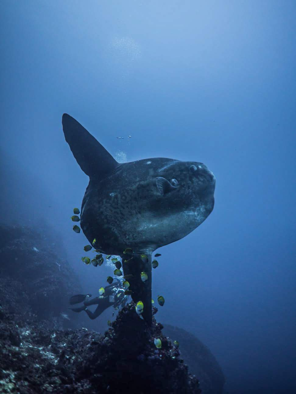 Flat and round. The shape of a Mola is very weird. This makes the Sunfish so popular for divers.